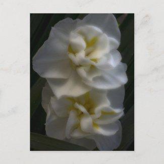 Dreamy Narcissus Daffodils zazzle_postcard