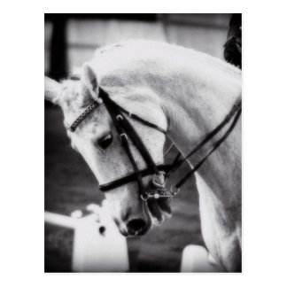 Dressage Horse Black and White Postcard