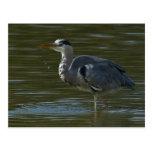 Dribbling Heron Post Cards