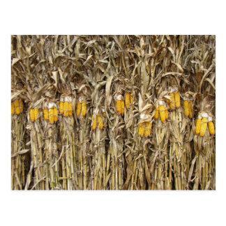 Dried Corn Stalk Decorations Postcard