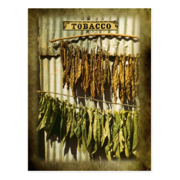 Dried tobacco leaves postcard