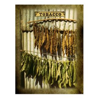 Dried tobacco leaves postcard