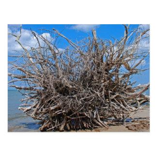 Drift Wood on the Florida Beach Postcard