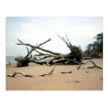 Driftwood Trees Post Cards
