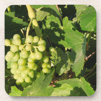 Drink Coaster with Young Green Grapes on the Vine