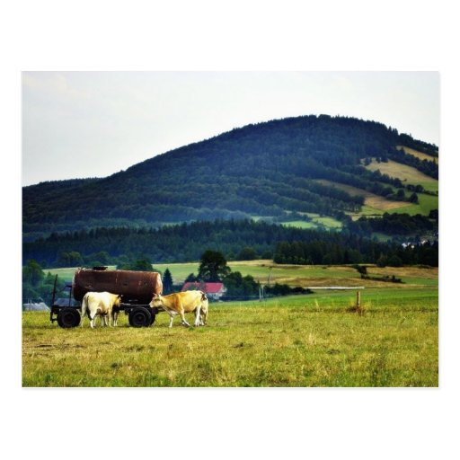 Drinking Cows On Pasture With A Hill In The Backgr Postcard