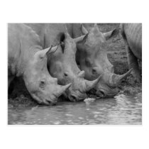 Drinking Rhinos Postcard