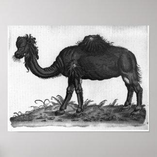 Dromedary, from 'Historial Animalium' Poster