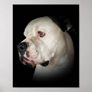 drooling American Bulldog Poster