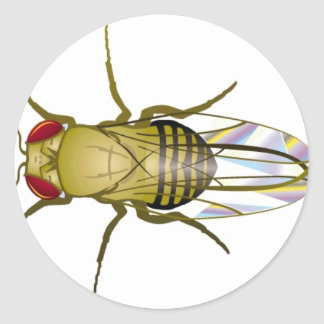 drosophila melanogaster classic round sticker