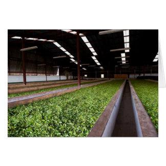 Drying and Oxidation Shed, Kenyan Tea Estate Card