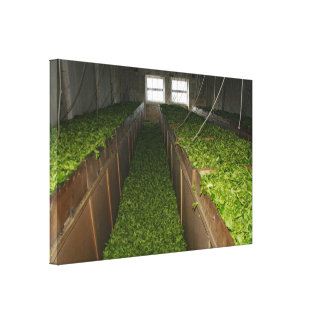 Drying tea leaves canvas print