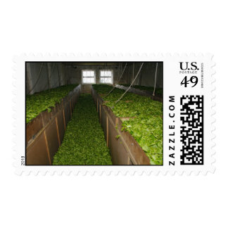 Drying tea leaves stamp
