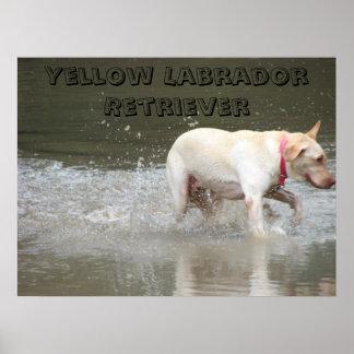 DSC00473, Yellow Labrador Retriever Poster