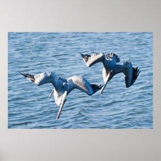Dual Pelican Dives Print