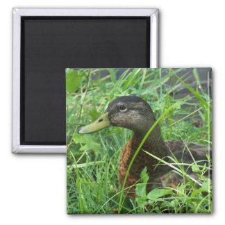duck 1 magnet