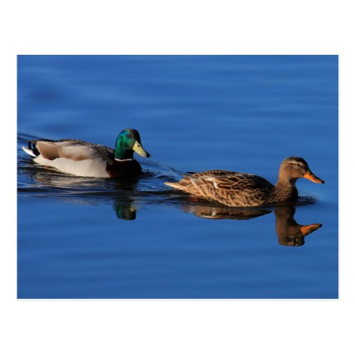 Duck Couple Postcard
