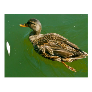 Duck in Boston Public Garden by Brad Hines Postcard