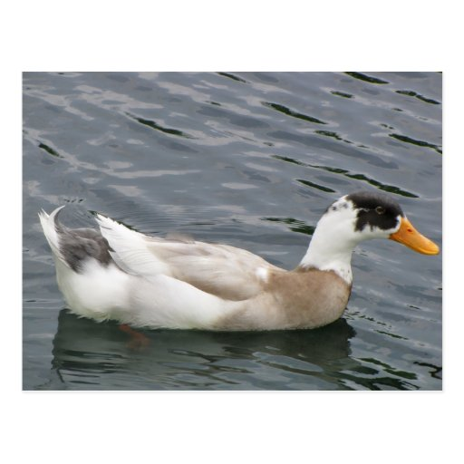 Duck in water postcard