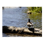 Duck on a Log Post Card