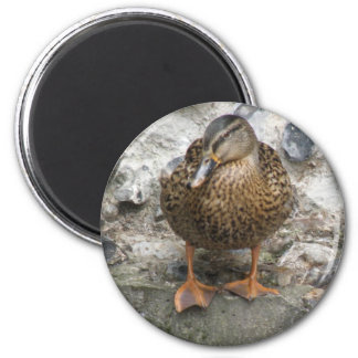 Duck on a Wall Magnet