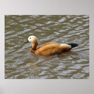 Duck on Pond Print