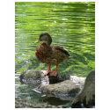 Duck on Rocks shirt