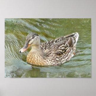 Duck Paddling Print