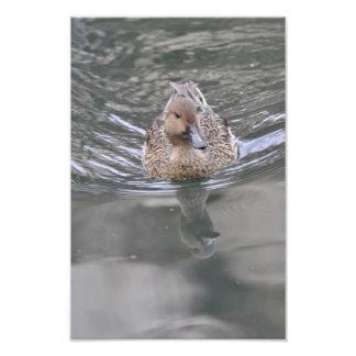 Duck - Pato Photo Print