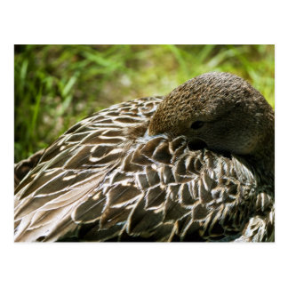 Duck Postcard