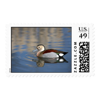 Duck, ringed teal beautiful reflection postage