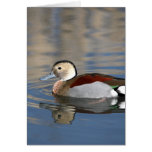Duck, ringed teal reflection blank greeting card