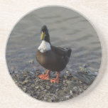 Duck Standing at Edge of Lake Beverage Coasters