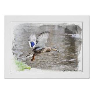 Duck Watercolour Photographic Print