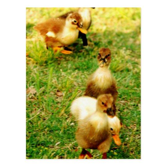 Duckies Postcard