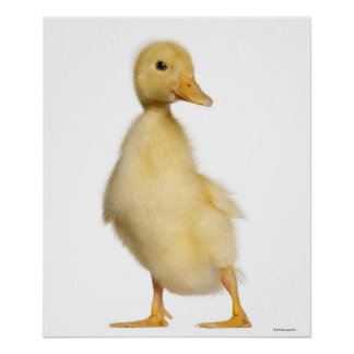 Duckling (1 week old) poster