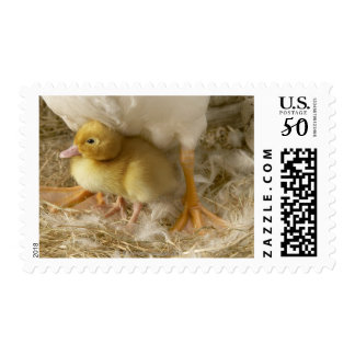 Duckling between mother's legs postage