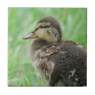 Duckling - duck chickens/photo: Jean Louis Glineur Tile
