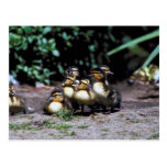 Duckling Group Postcards