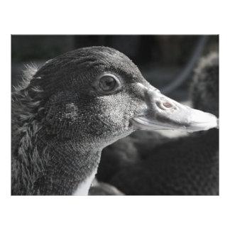 duckling head wet beak bw bird farm animal flyer