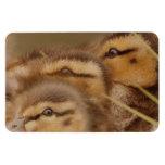 Duckling Magnet