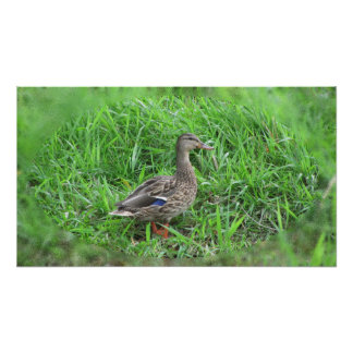 duckling mallard in the grass poster