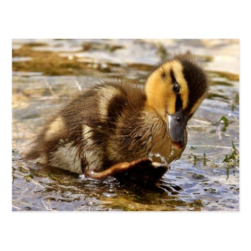 Duckling Post Cards