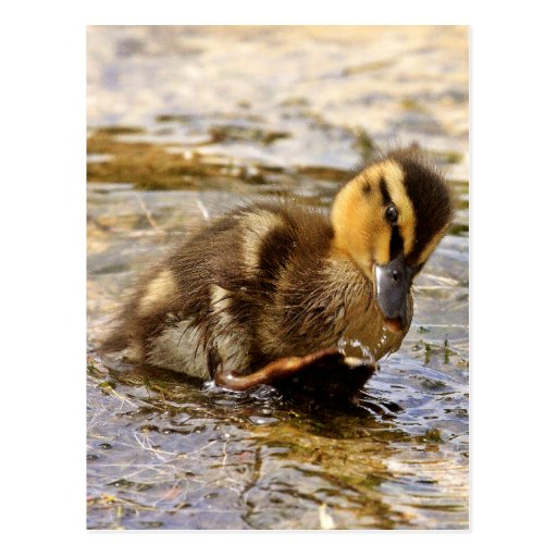 Duckling Post Card
