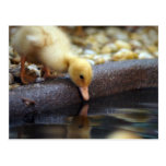 Duckling Reflection Postcards