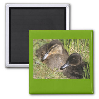Ducklings 2 Inch Square Magnet