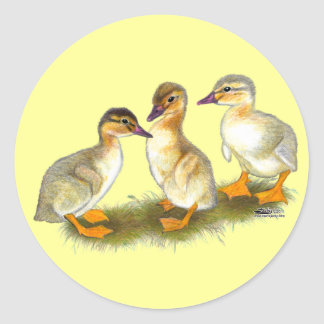 Ducklings:  Buff Orpingtons Classic Round Sticker