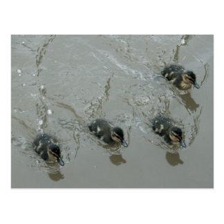 Ducklings Llangollen Canal Postcard