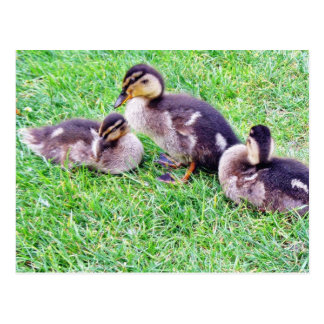 Ducklings On The Grass Postcard