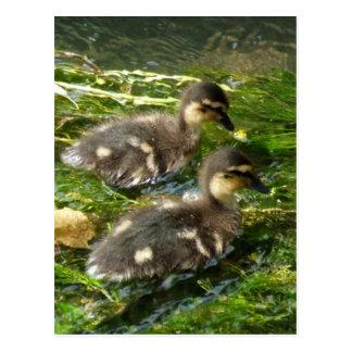 Ducklings Postcard